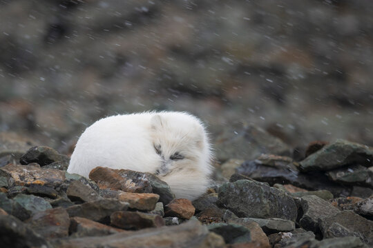 Arctic fox sleeping on rocks during snowfall