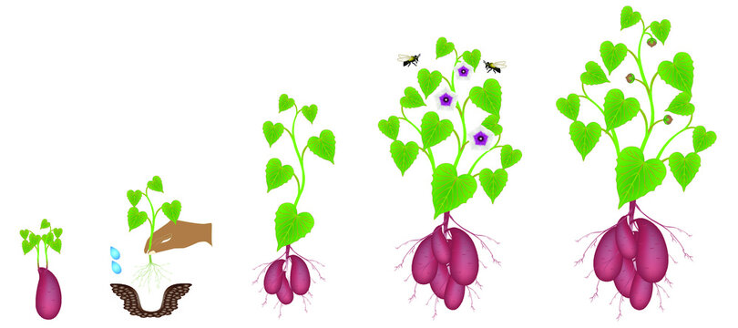 Growth cycle of sweet potato plants on a white background.