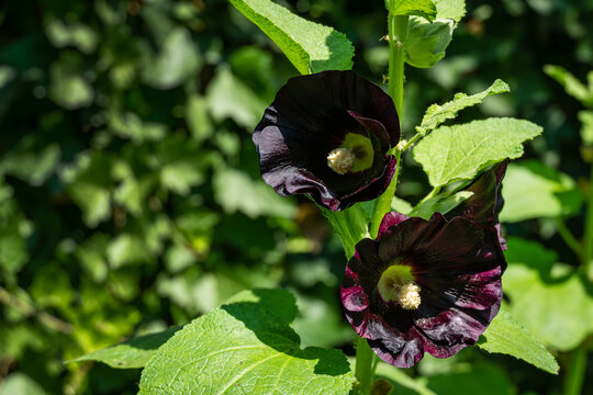 Alcea rosea 'nigra' is commonly known as Black Hollyhock. Tall flower Black Malva with huge dark flowers decorate any garden. Wonderful natural background for any idea. There is place for text