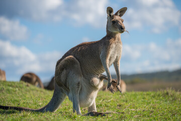Foto op Canvas Kangoeroe Kangaroo Standing On Field