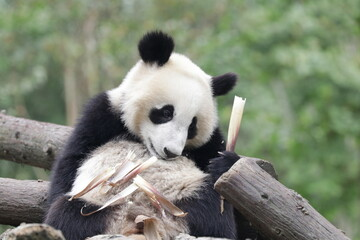 Autocollant pour porte Panda Little Panda is learning to eat Bamboo shoot, china