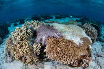 Wall Mural - A Crown of Thorns sea star, Acathaster planci, feeds on a living table coral in Wakatobi National Park, Indonesia. These starfish can potentially wipe out an entire reef if found in large numbers.