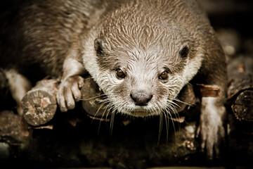 Fototapeta Close-up Of Otter On Wood obraz