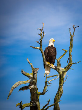 Majestic Bald Eagle photographed around the southern Gulf Islands of British Columbia, Canada.