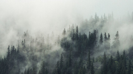 Obraz Panoramic View Of Pine Trees In Forest Against Sky - fototapety do salonu