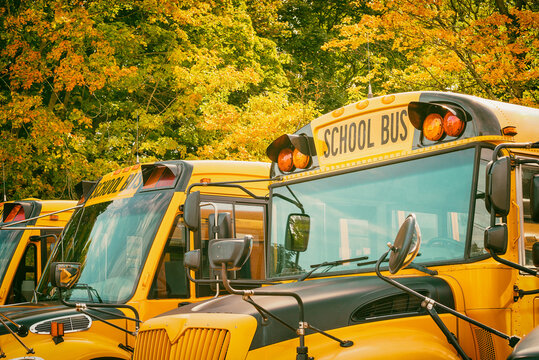 Yellow school buses in parking lot against beautiful autumn foliage trees. Back to school concept.