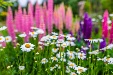Blooming daisies and lupine in a flower garden.