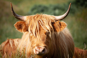 Papiers peints Vache scottish highland cow