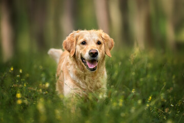 happy golden retriever dog walking in the forest in summer
