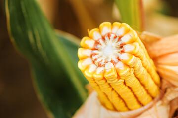 Fototapeta Ear of corn in cultivated cornfield obraz