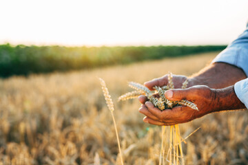 farmer outdoor walking field of wheat, holding wheat in his hands
