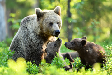 Brown bear with cubs in summer forest