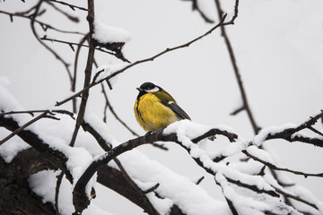 Tit sits on a snowy branch