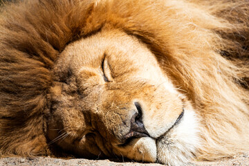 Portrait of a beautifully adult lion with a chic mane sound asleep