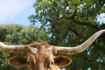 Wall Mural - Texas longhorn cow face close up with summer scene background.