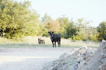 Wall Mural - Black Angus cows far away on Texas farm during summer.