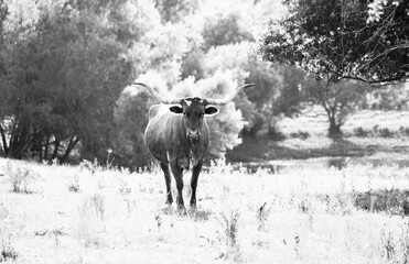 Wall Mural - Texas longhorn cow looking at camera from rural field in black and white during summer.