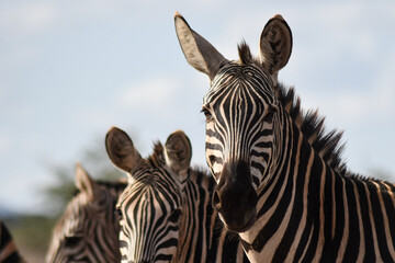 View Of Zebra Against Sky Wall mural