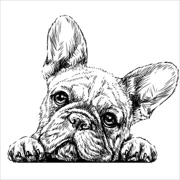 French bulldog. Sticker on the wall in the form of a graphic hand-drawn sketch of a dog portrait.