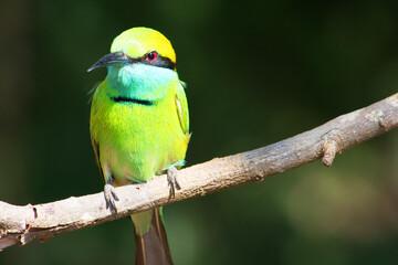 Green Bee-Eater bird (Merops orientalis) in the Yala National Park, Sri Lanka