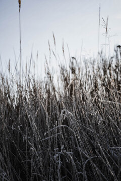 reed in the snow