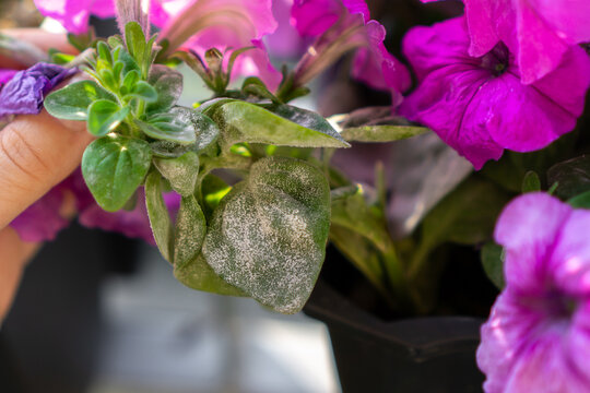 Symptoms of powdery mildew pathogen infection on petunia x hybrida.