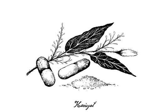 Vegetable and Herb, Hand Drawn Illustration of Kariyat or Andrographis Paniculata Plants with Pill. Ayurveda Herbal Medicine Used to Treat Infections and Some Diseases.