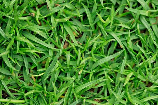 bermuda grass up close