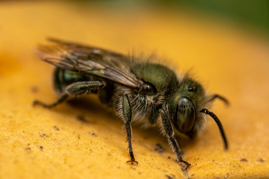 Close Up Of A Mason Bee On A Leaf.