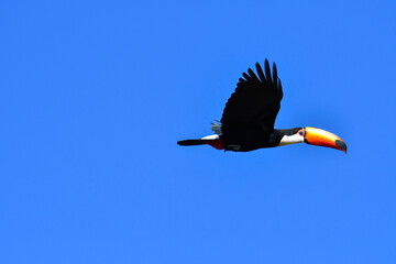 Tropical toucan flying in the blue sky with open wings. Toco toucan of the forest, one of the most beautiful bird of nature