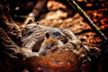 Fototapeta Close-up Of Meerkat Looking From Wooden Den In Chester Zoo obraz