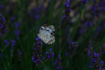 Poster Papillon Closeup beautiful butterfly sitting on the lavender flower in a summer garden
