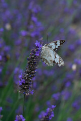 Closeup beautiful butterfly sitting on the lavender flower in a summer garden