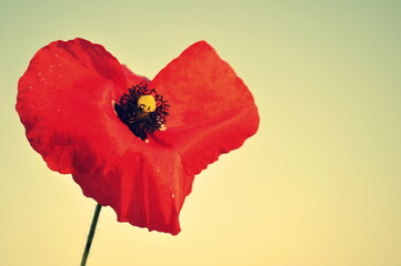 Close-up Of Red Poppy Against White Background