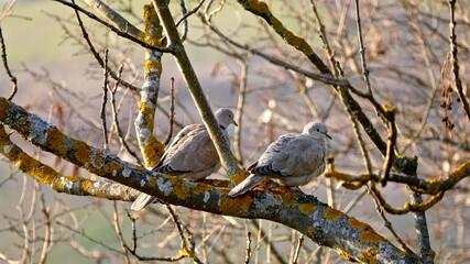 Fototapeta Mourning Doves Perching On Bare Tree obraz