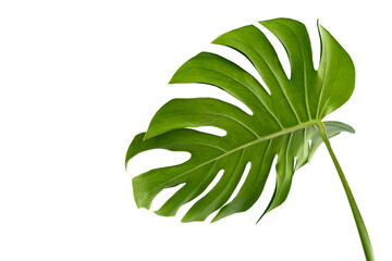 Vibrant Green Monstera Plant Leaves Against A White Background,clipping path inclu