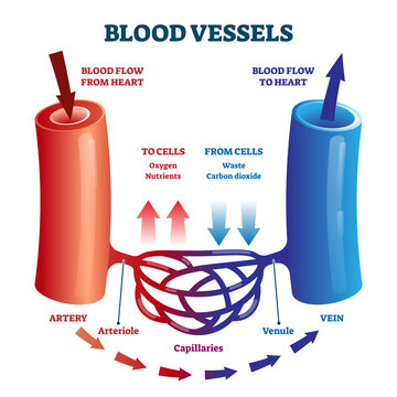 Blood vessels scheme with heart and cells flow direction vector illustration