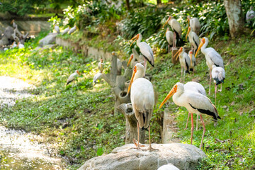 Poster Peacock A flock of milk storks sits on a green lawn in a park