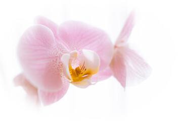 Aluminium Prints Orchid Orchidee / Orchidaceae