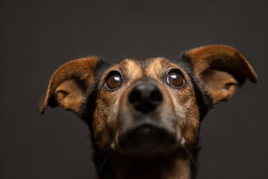 isolated brown mixed breed dachshund terrier type dog close up head portrait looking up on a dark background in the studio