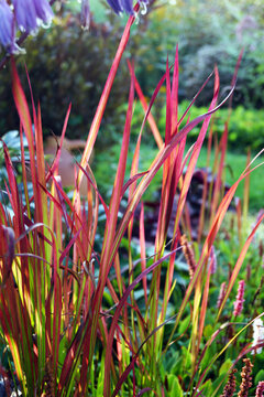 Japanese blood grass (Imperata cylindrica 'Rubra', also known as 'Red Baron') in a garden setting