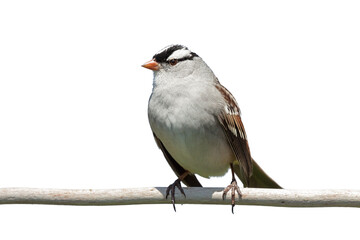 White-crowned sparrow on a white background