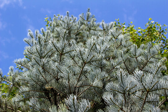 Close up texture view of the upright growing silver blue needles on the branches of a white fir tree