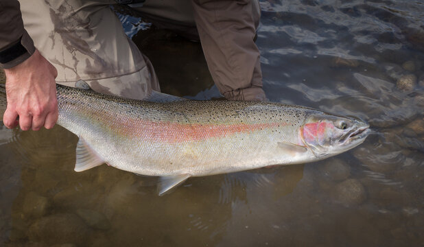 Beautiful pink steelhead rainbow trout, held by the tail, about to be released.