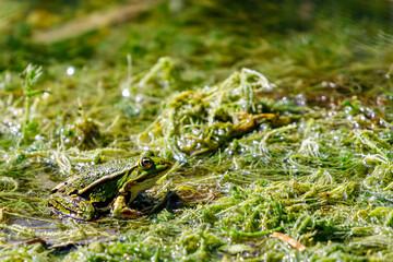 Printed kitchen splashbacks Frog Water frog in the dunes of the Amsterdam water supply Area / Groene kikker in de Amsterdamse Waterleiding Duinen (AWD)