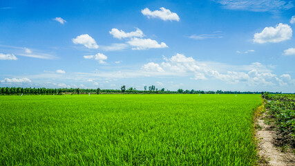 Drone view of green and yellow rice field