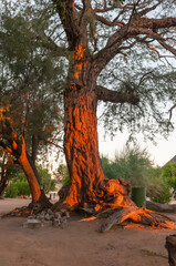 Camelthorn tree at sunset in the Aba Huab Campsite