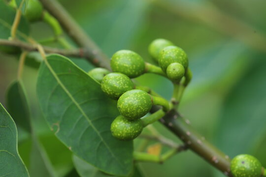 Litsea cubeba Pers. seeds are used to produce essential oils.