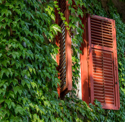 Antique facade covered in ivy with a window with open red shutters