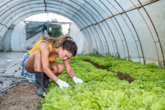 Young agricultural farmer woman looking at the vegetables in her greenhouse checking the leaves of the green salad as her new business start up of growing natural and organic plantation of health food
